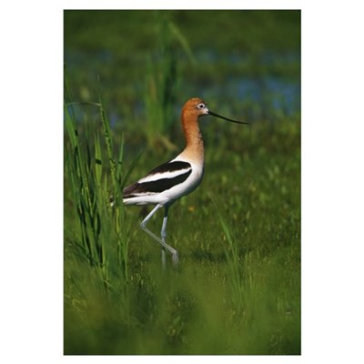 Avocet bird, profile, Lake Alice National Wildlife Canvas Art