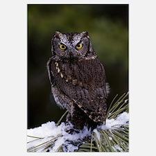 Eastern screech owl on pine tree branch, Canada.