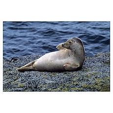 Seal lying on Bass Rock, Scotland. Poster
