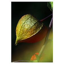 Chinese lantern seed pod, close up, Canada.