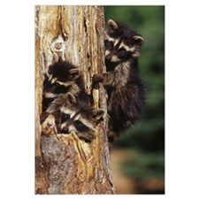 Three young raccoons in hollow tree, Minnesota