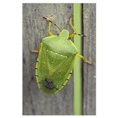 Green stinkbug (Acrosternum hilare) on weathered w Poster
