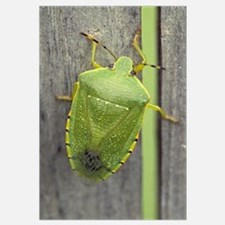 Green stinkbug (Acrosternum hilare) on weathered w