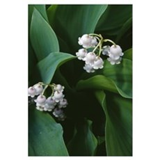 Lily of the valley flowers (Convallaria majalis) b Framed Print