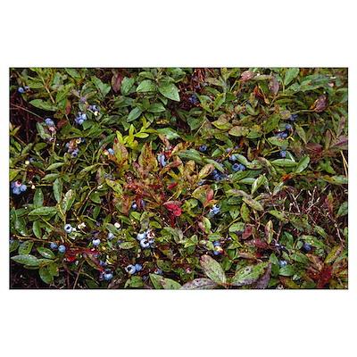 Blueberries on bush, Massachusetts Poster