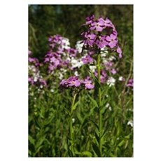 Dames rocket flowers (Hesperis matronalis) bloomin Canvas Art