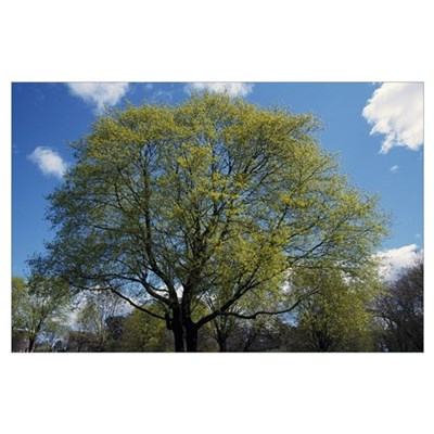 Maple tree budding in spring, New York Poster