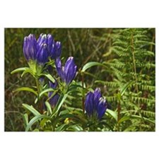 Closed gentian flower blossoms, close up.