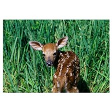 One-day-old whitetail deer fawn learning to walk.