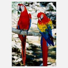 Pair of scarlet macaws on branch, Honduras.