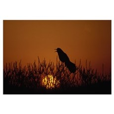Boat-tailed grackle (Cassidix mexicanus) silhouett Poster