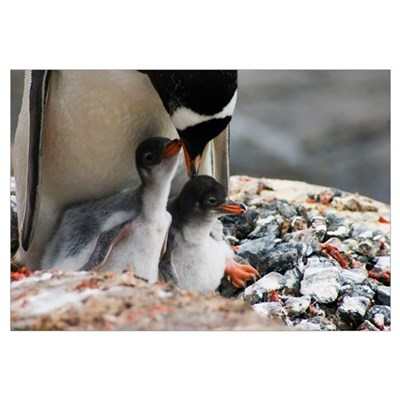 Adult gentoo penguin with chicks, close up, Antarc Canvas Art