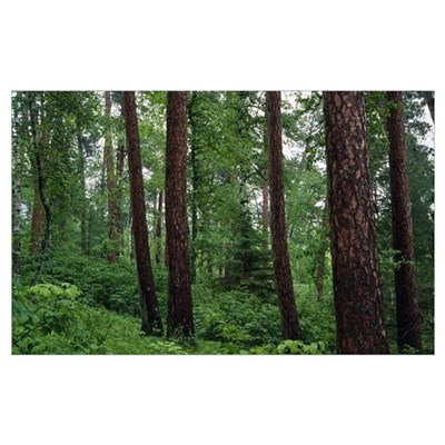 Red pine trees in old-growth forest, Preachers Gro Poster