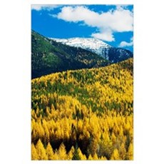 Autumn color larch trees in pine tree forest, Flat Poster