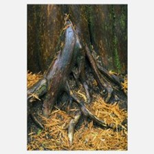 Wet bark of cedar tree, close up, Ross Creek Giant