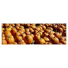 Pumpkins in a field, Vermont Poster