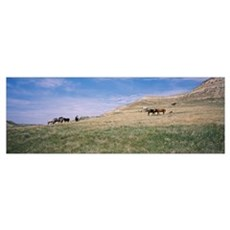 Wild horses in a grassy field, Badlands, Theodore  Poster