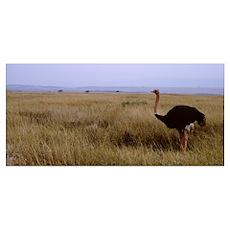 Ostrich Africa Poster