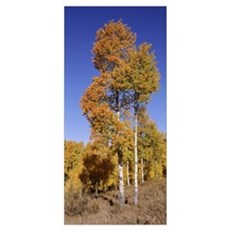Aspens Grand Teton National Park WY Poster