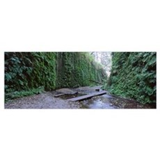 Trees in a forest, Fern Canyon, Prairie Creek Redw Poster