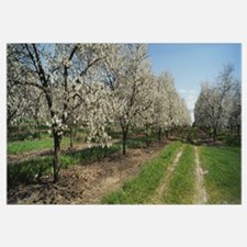 Dirt road passing through a cherry orchard, Leelan