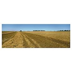 Wheat crop in a field, Kearney County, Nebraska Poster