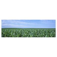 Corn crop on a landscape, Kearney County, Nebraska Poster