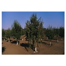Trees in an orchard, Gilroy, California