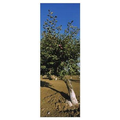Close-up of a plum tree in an orchard, Gilroy, Cal Poster