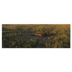 High angle view of a dead Texas Longhorn cattle ly Poster