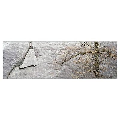 Black Oak Granite Spring Yosemite National Park CA Poster