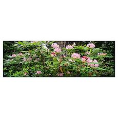 Spring Rhododendron Bloom Humboldt Co Redwood Nat' Poster