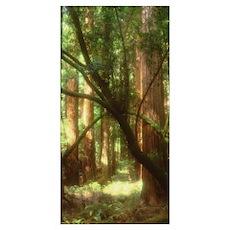 Redwood tree trunks Muir Woods CA Poster