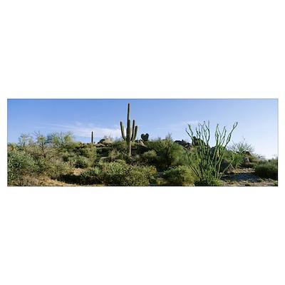 Sonoran Desert Saguaro Cactus Arizona Poster