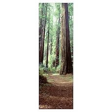 Trees Redwood St Park Humbolt Co CA Poster