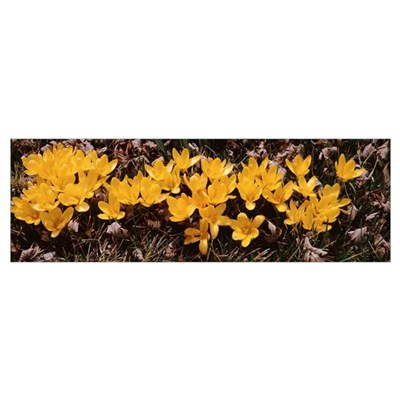 Close-up of Yellow Crocuses (Colchicum autumnale) Poster