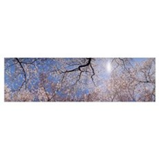 Low angle view of Cherry Blossom trees, Washington Poster