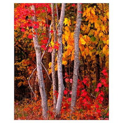 Maine, Autumn maple trees Poster