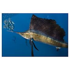 Atlantic Sailfish Feeding Poster