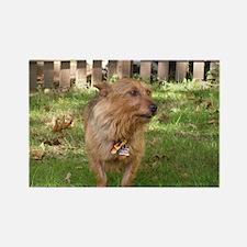 Australian Terrier Rectangle Magnet (10 pack)