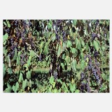 Close-up of grapes in a vineyard, Fennville, Michi