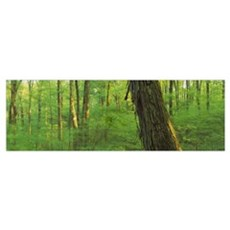 Trees in a forest, Hoosier National Forest, Indian Poster