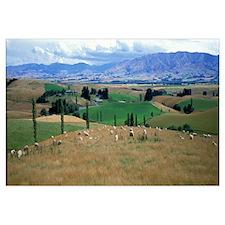 Sheep Ranching near Fairlie New Zealand