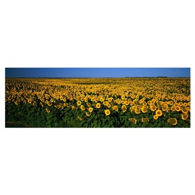 Field of Sunflowers ND Canvas Art
