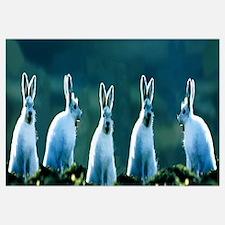 Arctic Hares (concept) Ellesmere Isl Canada