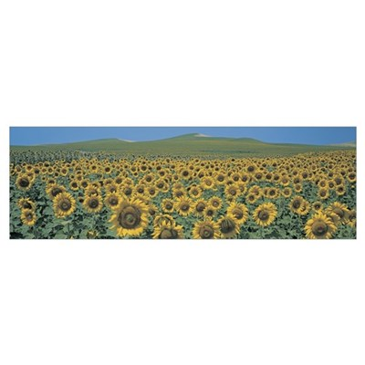 Sunflower field Andalucia Spain Poster