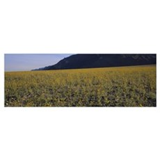 Flowers in a field, Death Valley National Park, De Poster
