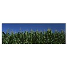 Corn crop in a field, New York State Framed Print