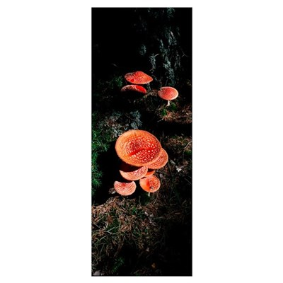 High angle view of Fly Agaric mushrooms, French Ri Poster