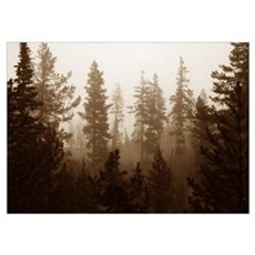 Back country Pines. Wall Art Poster